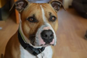American Staffordshire Terriers Health