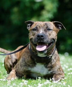 American Staffordshire Terriers Life Span