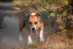 American Staffordshire Terriers Temperament