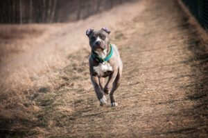 American Staffordshire Terriers Weight and Size