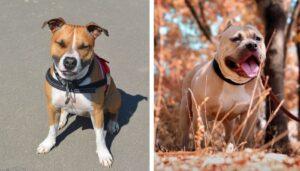 American Staffordshire Terriers vs. Pitbull