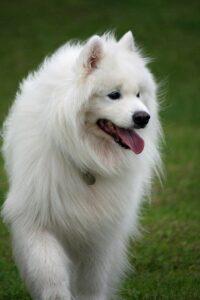 Appearance of Samoyed Dog Breed