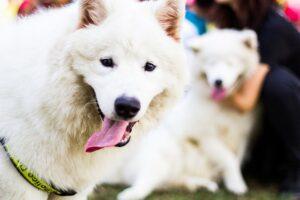 History of Samoyed Dog Breed