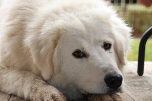Maremma Sheepdog Temperament