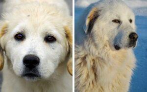 Maremma Sheepdog vs. Great Pyrenees