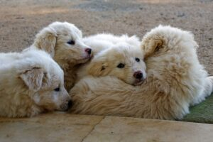 Maremma Sheepdogs Picture