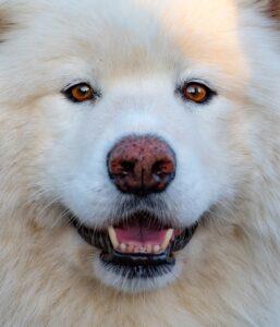 Personality of Samoyed Dog Breed