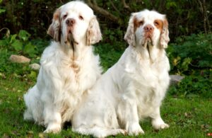 The Clumber Spaniel Look