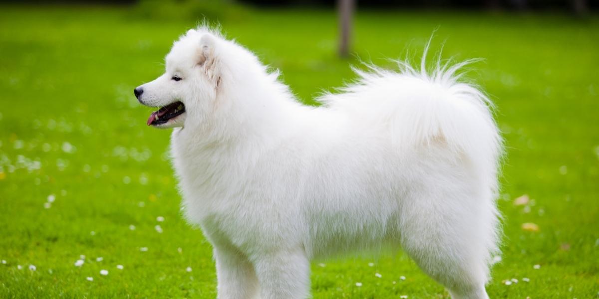 Samoyed dog breeds