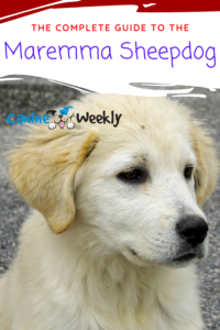 The Complete Guide to the Maremma Sheepdog