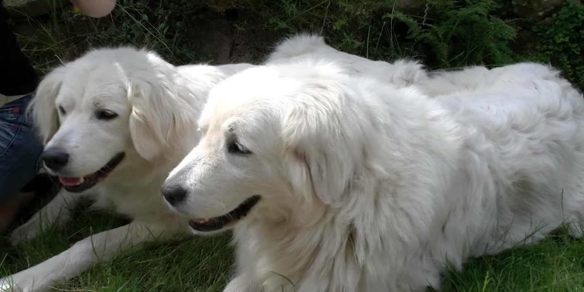 The Complete Guide to the Slovensky Cuvac Dog