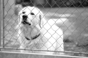 the Slovensky Cuvac Dog