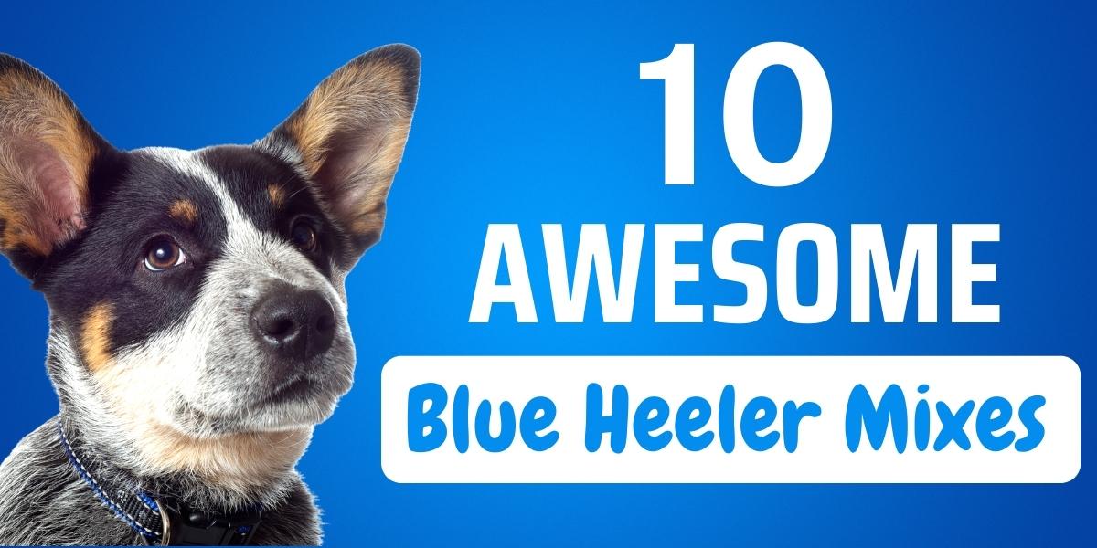 blue heeler mix