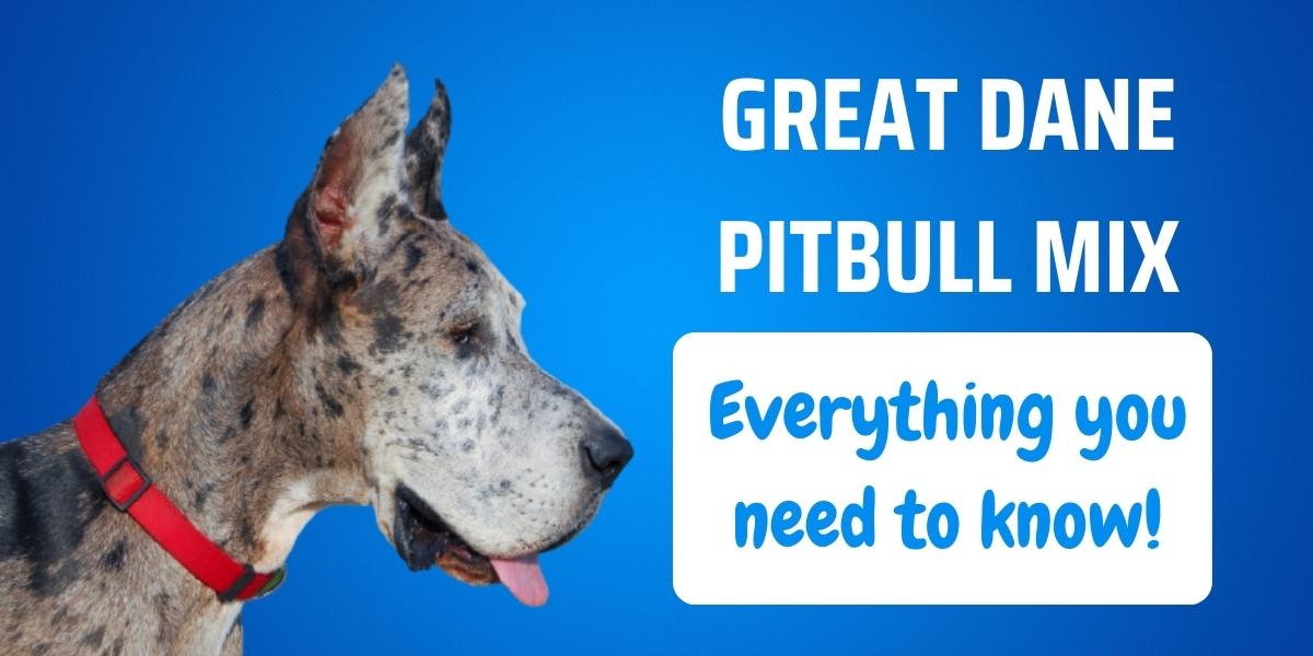 great dane pitbull mix