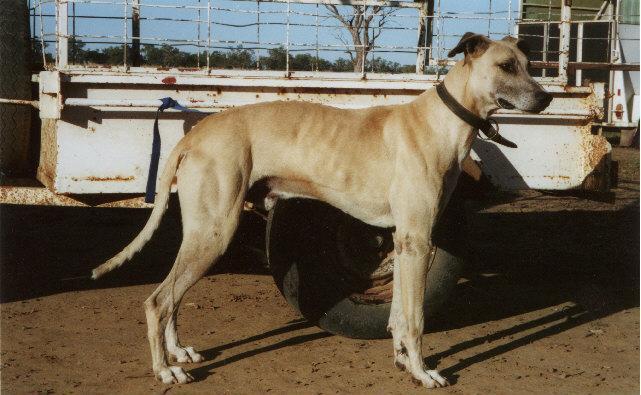 Australian Kangaroo Dog