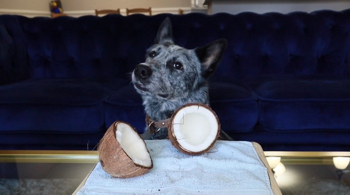 Dog is Eating Coconut