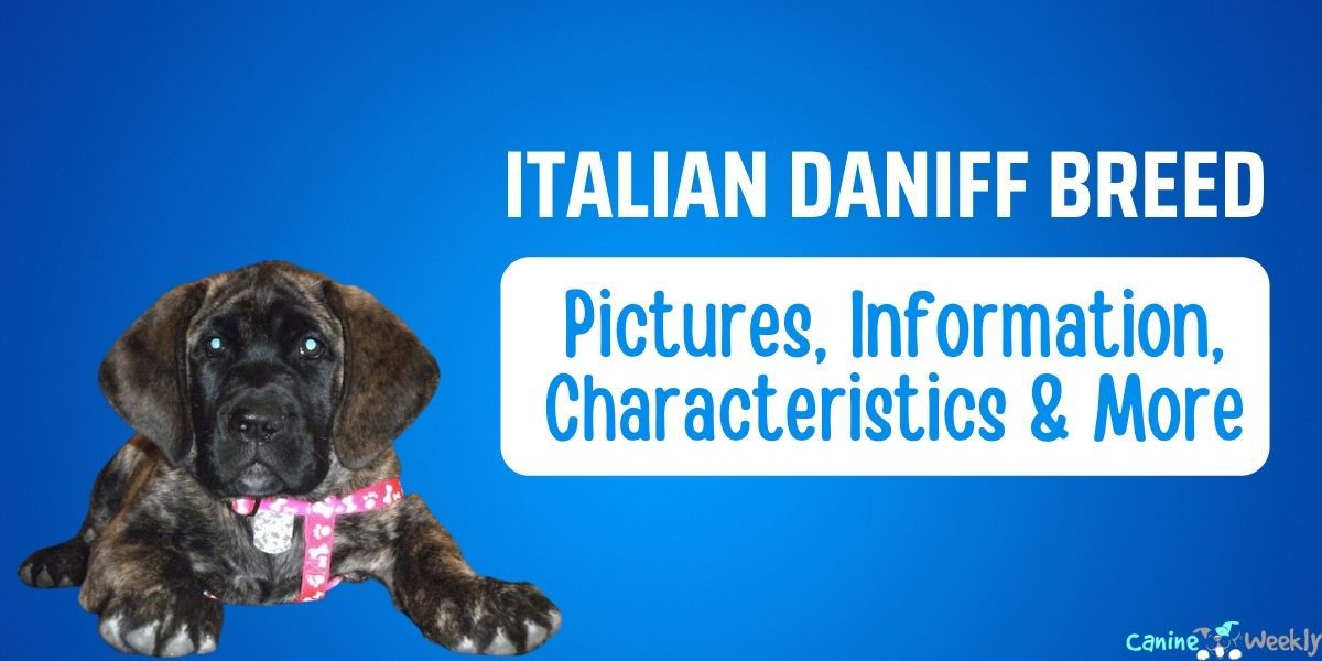 Italian Daniff Breed